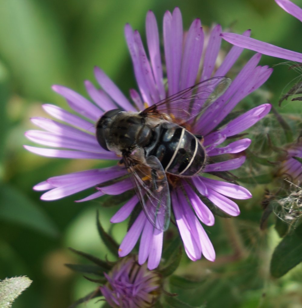 Harmless flower flies are good at mimicking bees or wasps.