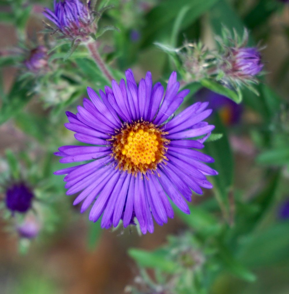 "New England aster. The ""petals"" are each an individual flower called a ray flower. In the center of the head is another kind of flower, called a tube flower."