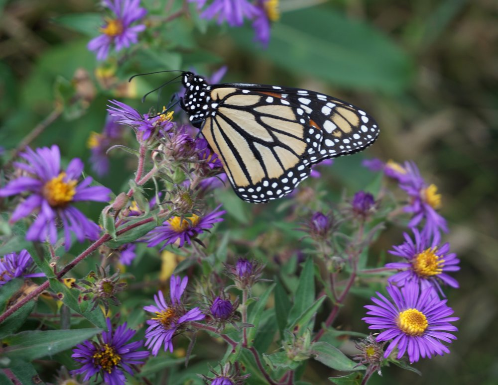 New England asters are a late season favorites of butterflies.