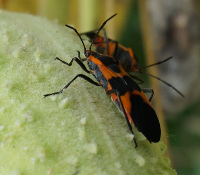 Large milkweed bugs prefer to feed on common milkweed, but will feed on related species.