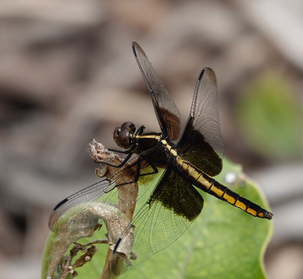 A young male widow skimmer. This dragonfly often spends the night hanging around under leaves.