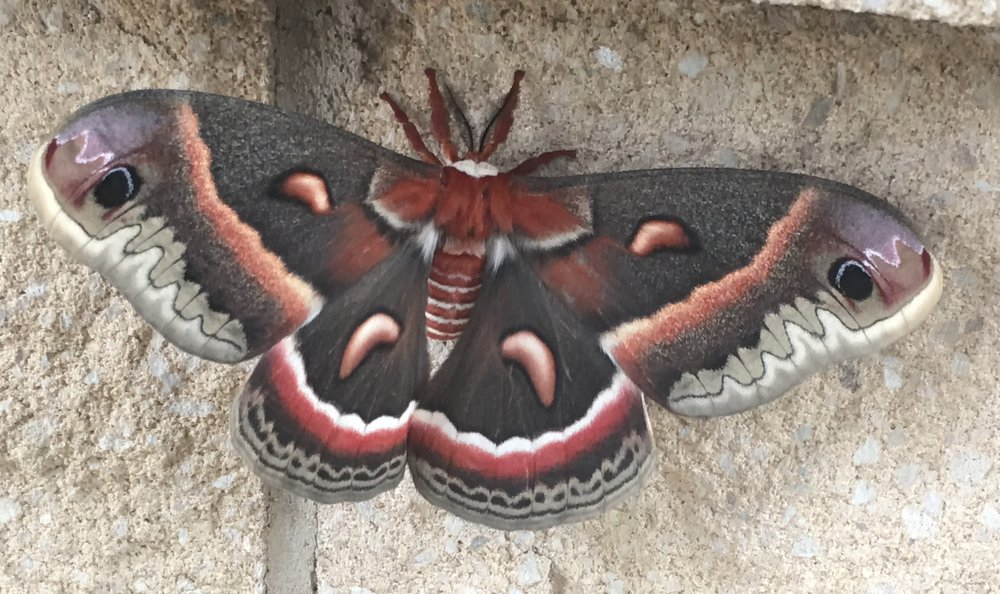 This cecropia, North America's largest native moth, was seen not just hanging around a bank. It was hanging onto a bank.