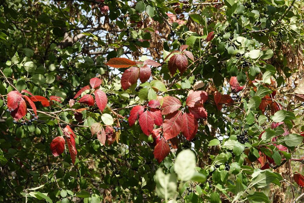 Virginia creeper flashes its fall colors.