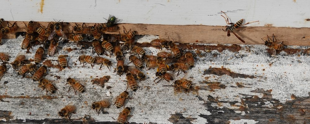 Wasps will raid and plunder a honey bee hive.