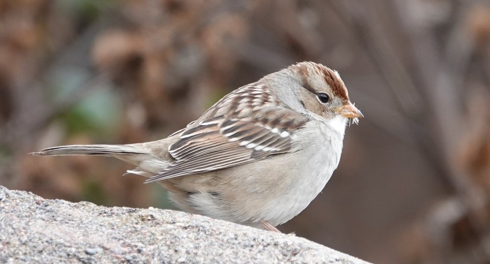 A white-crowned sparrow enjoying its first fall.