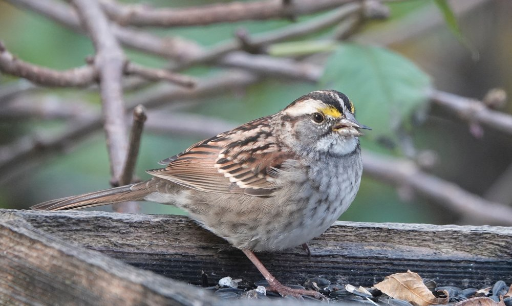 A white-throated sparrow considers costume possibilities for its first Halloween