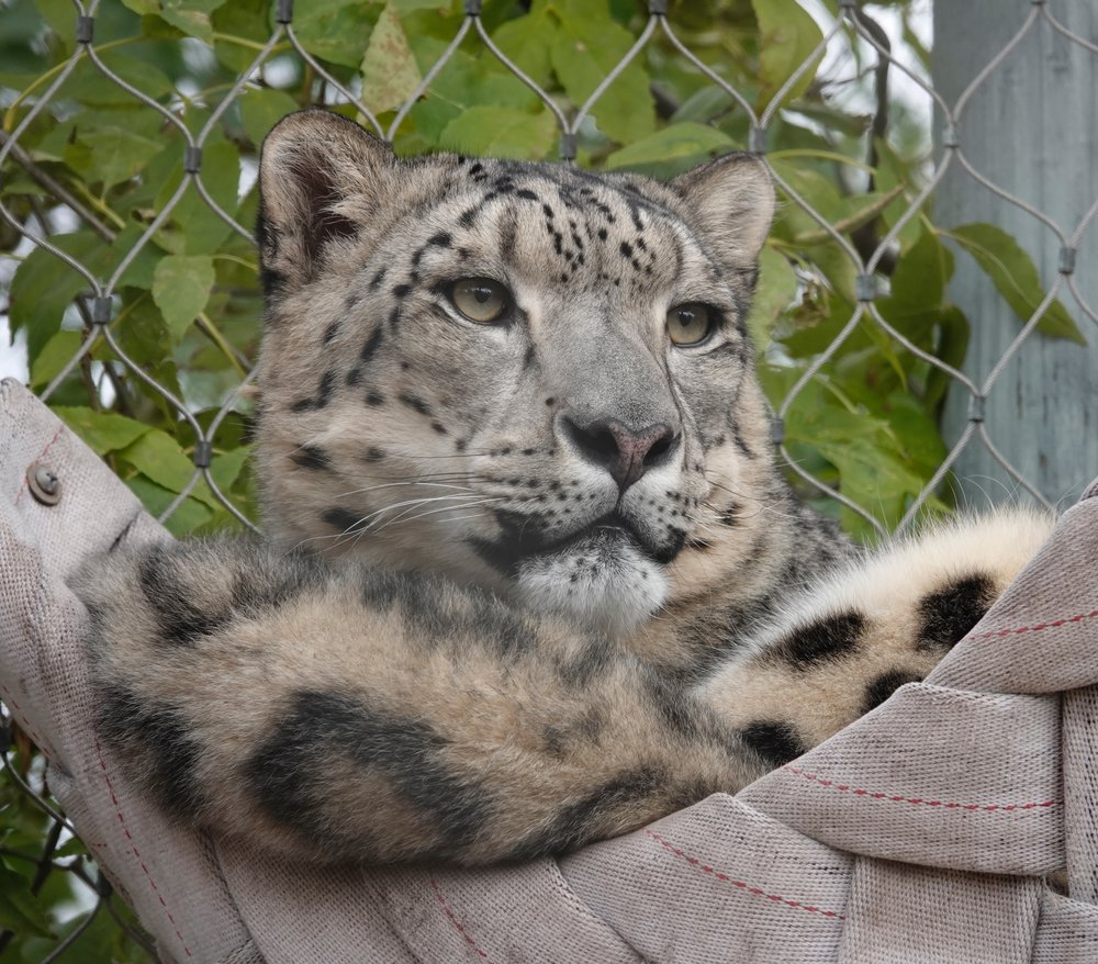 A snow leopard in a hammock at the Lake Superior Zoo.