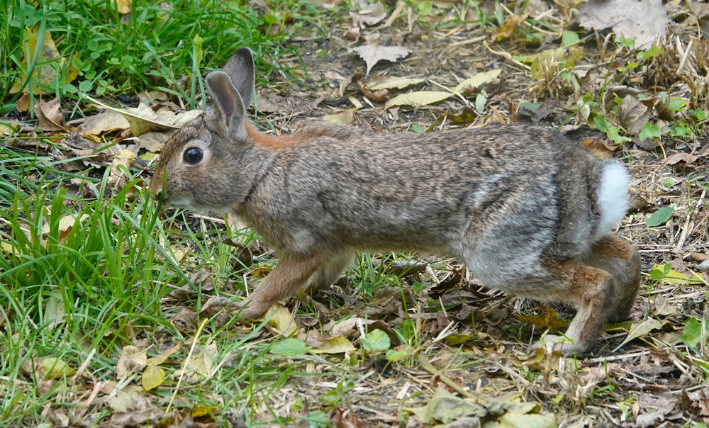 I love the pelage colors of this eastern cottontail rabbit busy in its crepuscular (dusk and dawn) foraging activity