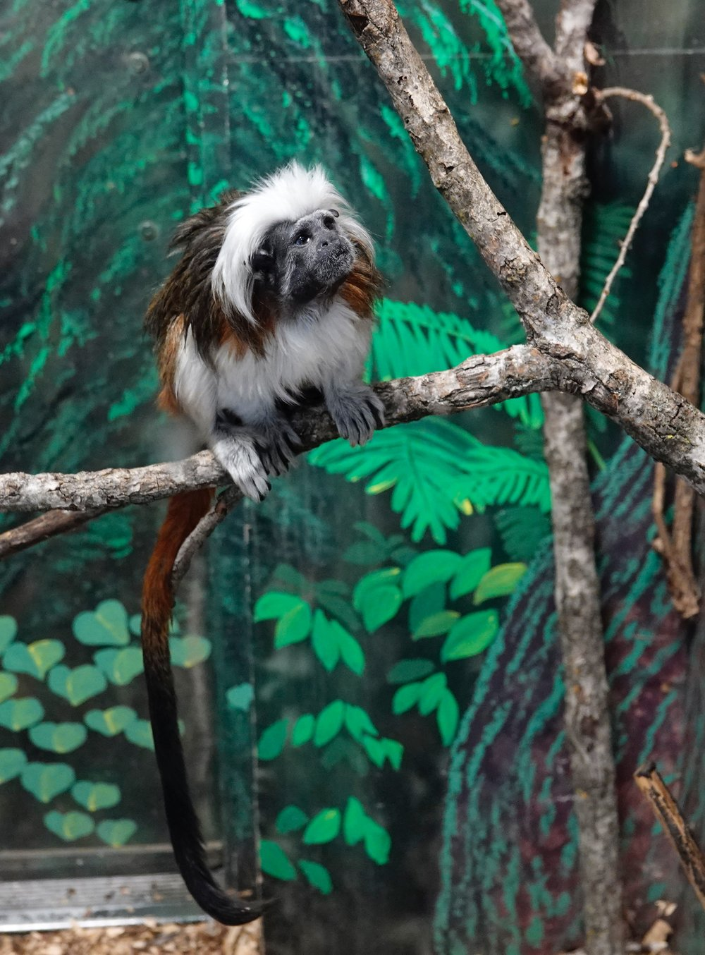 There aren't many cotton-top tamarins left in their native home in Colombia. This one is at the Lake Superior Zoo.