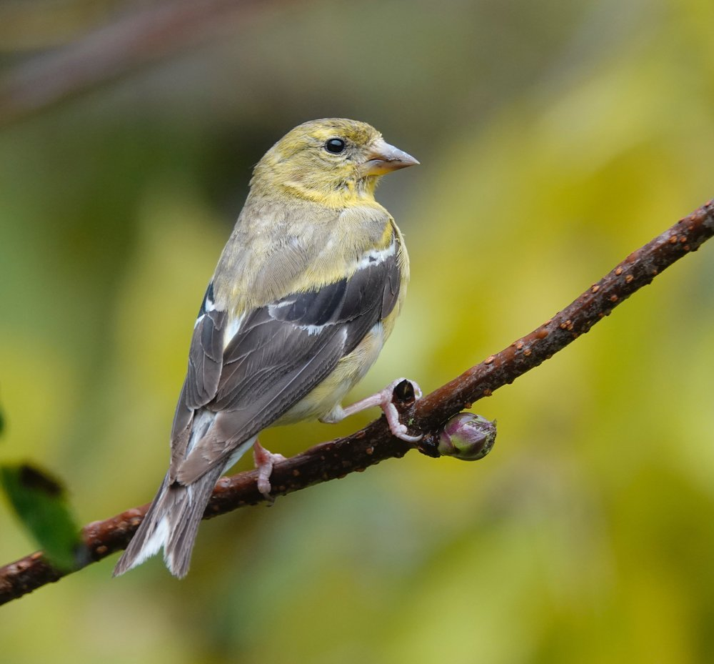 The state bird of Iowa, the American goldfinch.