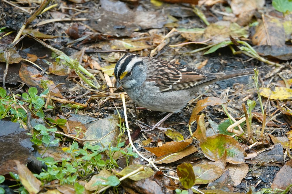 I toss out some white millet for our native sparrows. It's a good day when a white-throated sparrow is a part of it.