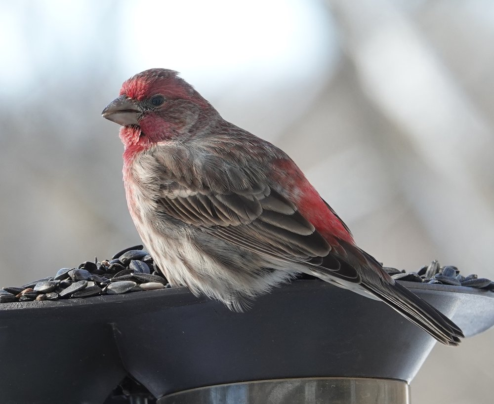 The more pigment in his food, the redder the house finch male.