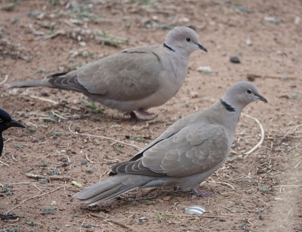The Eurasian collared-dove's species name is decaocto. In Greek mythology, Decaocto was a servant girl changed into a dove by the gods to relieve her suffering. It's mournful call recalls her former life.