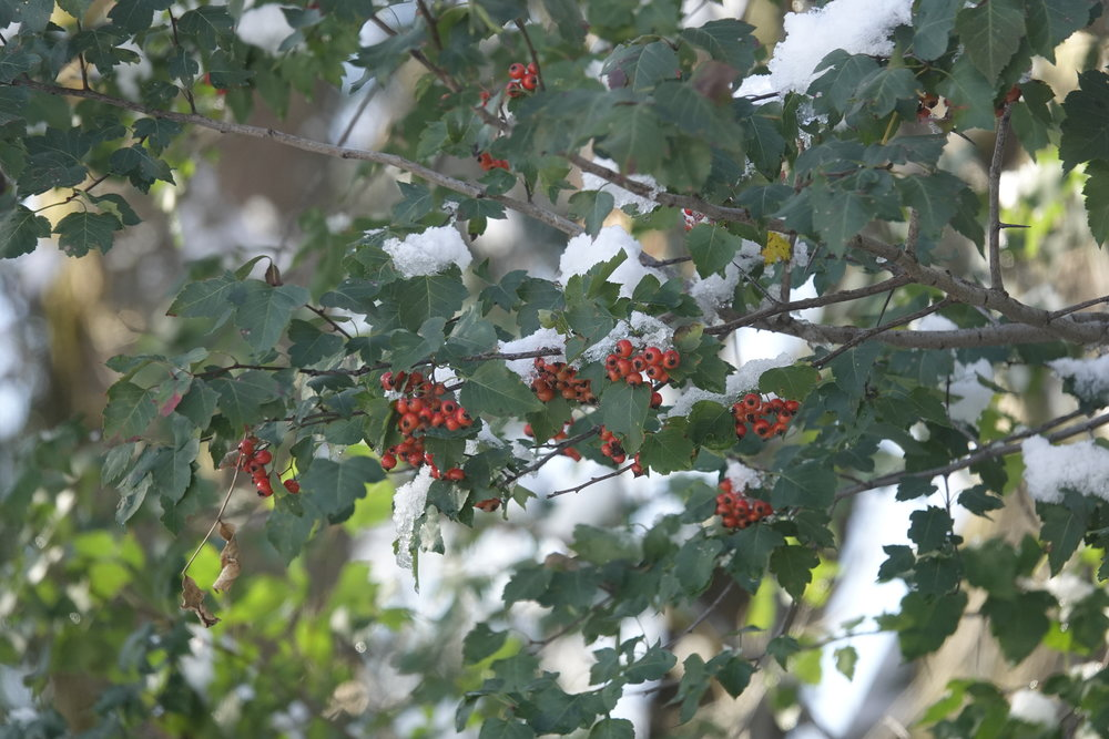 Hawthorn is equipped with a belligerence of thorns.