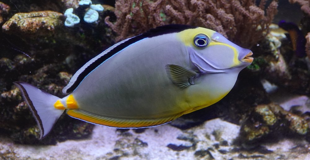 The naso tang is like a mood ring, it changes colors as it changes its moods.  It's a mood fish.