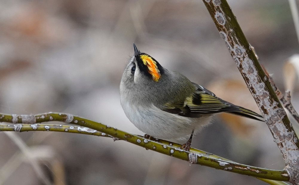 """A golden-crowned kinglet is Mark Rothko's painting """"Orange and Yellow"""" given wings."""