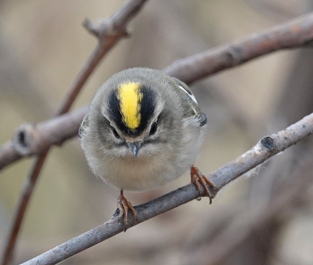 Each of a golden-crowned kinglet's nostrils is covered by a single feather.