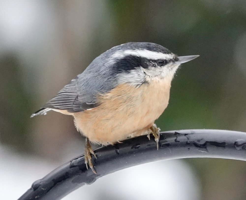 The red-breasted nuthatch shows little fear of humans.