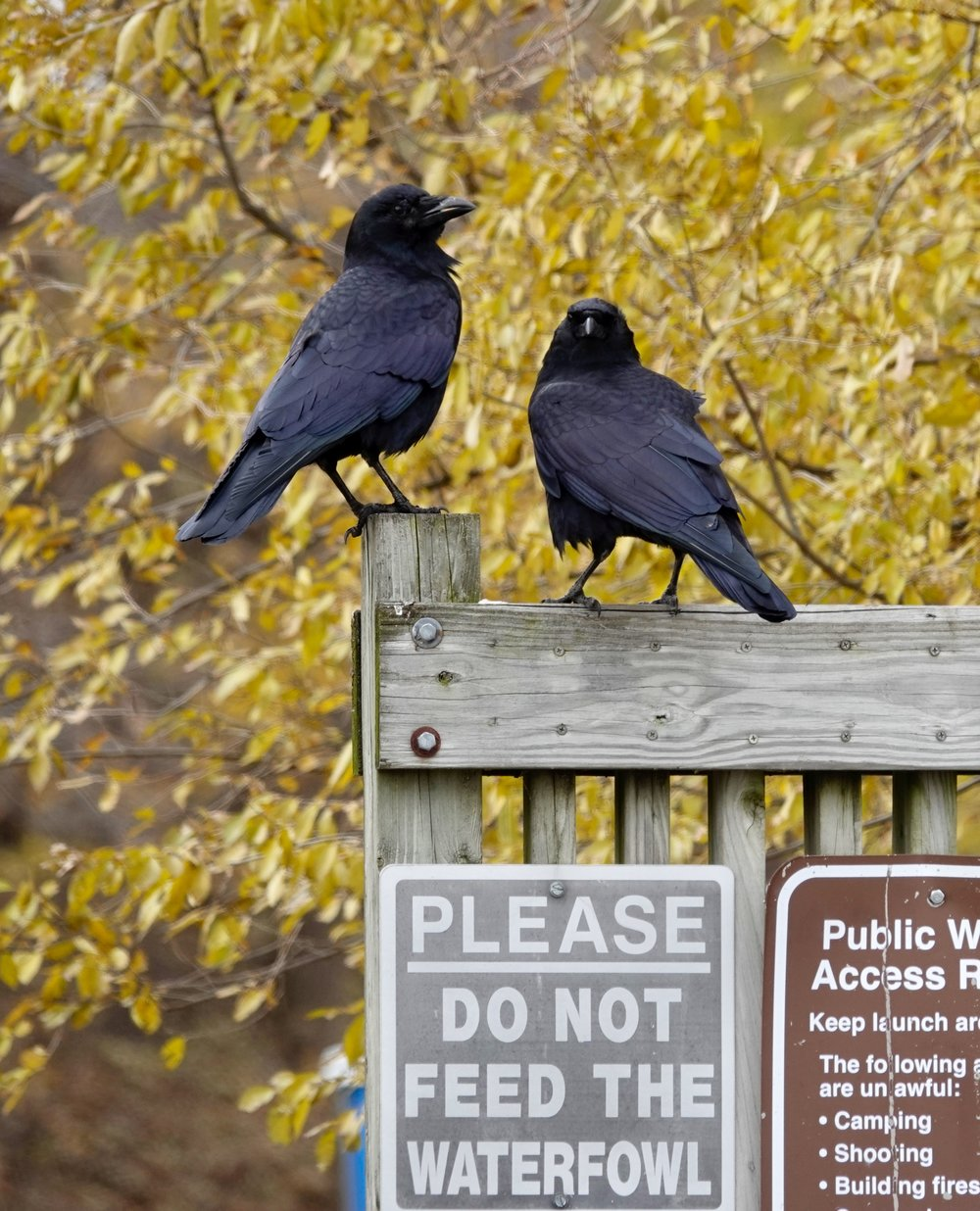 These two crows were letting everyone know that they were not waterfowl.