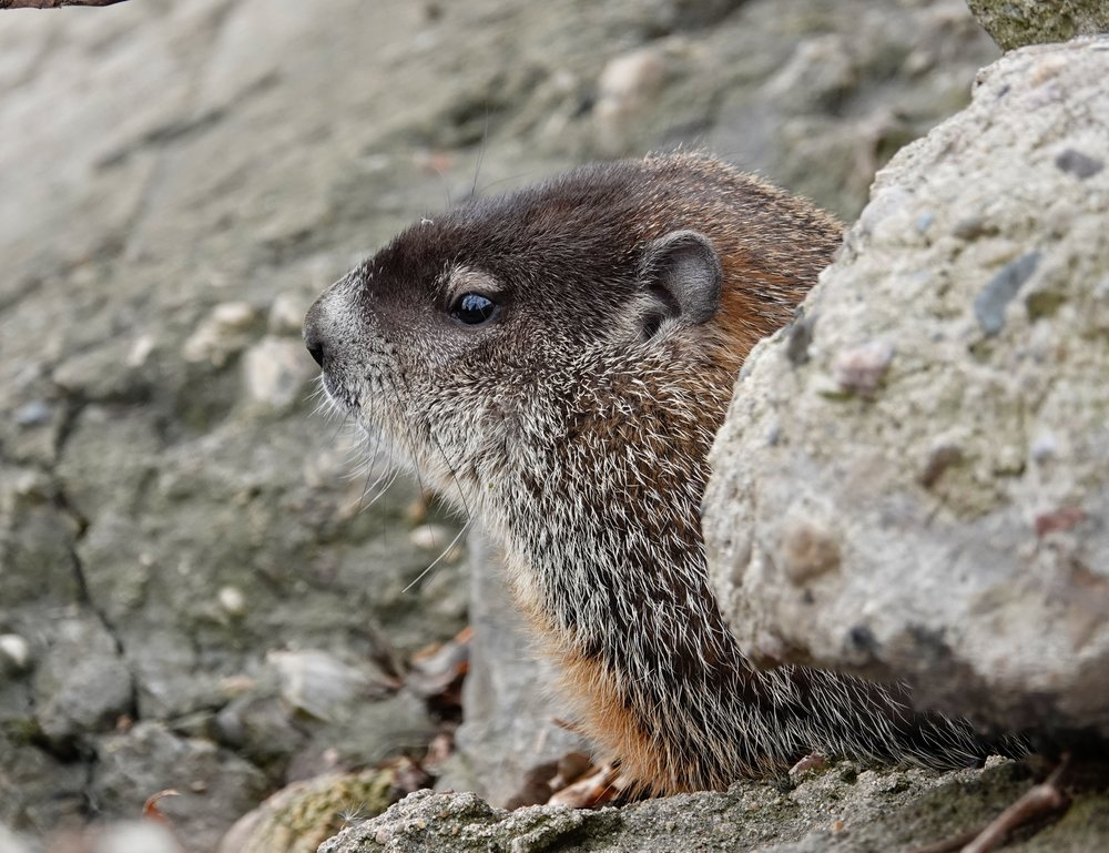 A groundhog practices posing in case Mount Rushmore decides to add an image of a marmot.