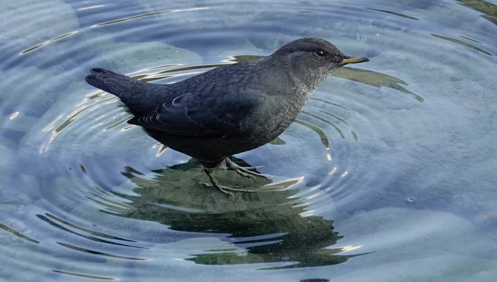 One of my favorite birds, the American dipper was once known as a water ouzel.