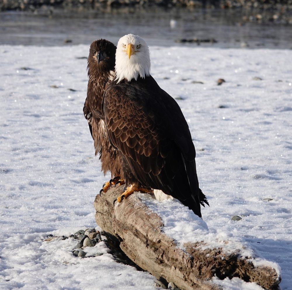 OK, bald eagles, look at the camera and smile.