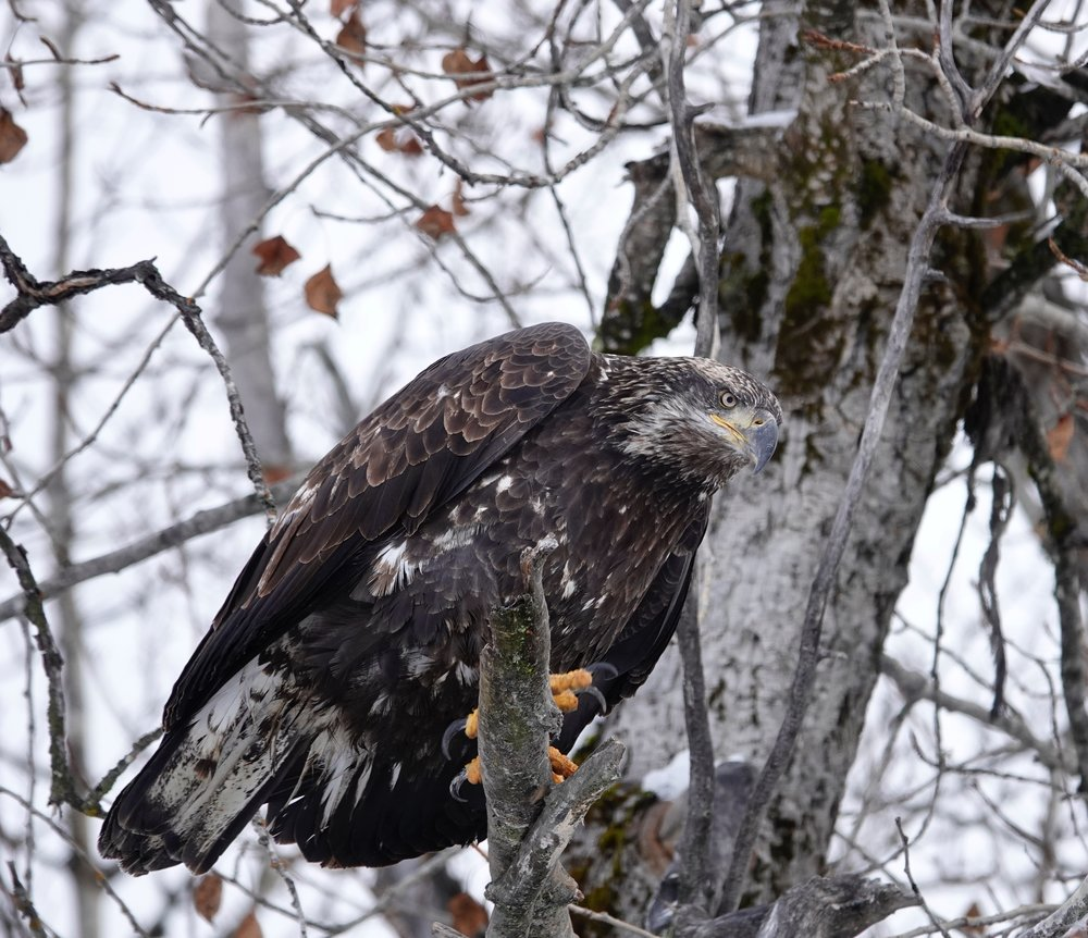 A bald eagle thinking of having salmon for lunch.