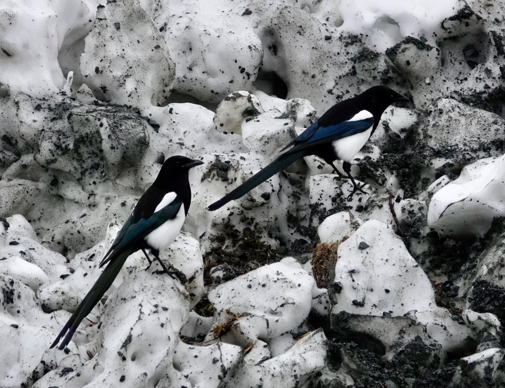 Magpies climbing a mountain.