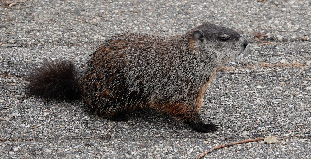 "As Jeffrey Lebowski, in the movie ""The Big Lebowski,"" would say, ""Ah, nice marmot.""  A groundhog is a species of marmot."