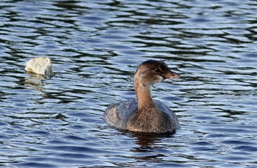 A pied-billed grebe takes its leave from a leaf.
