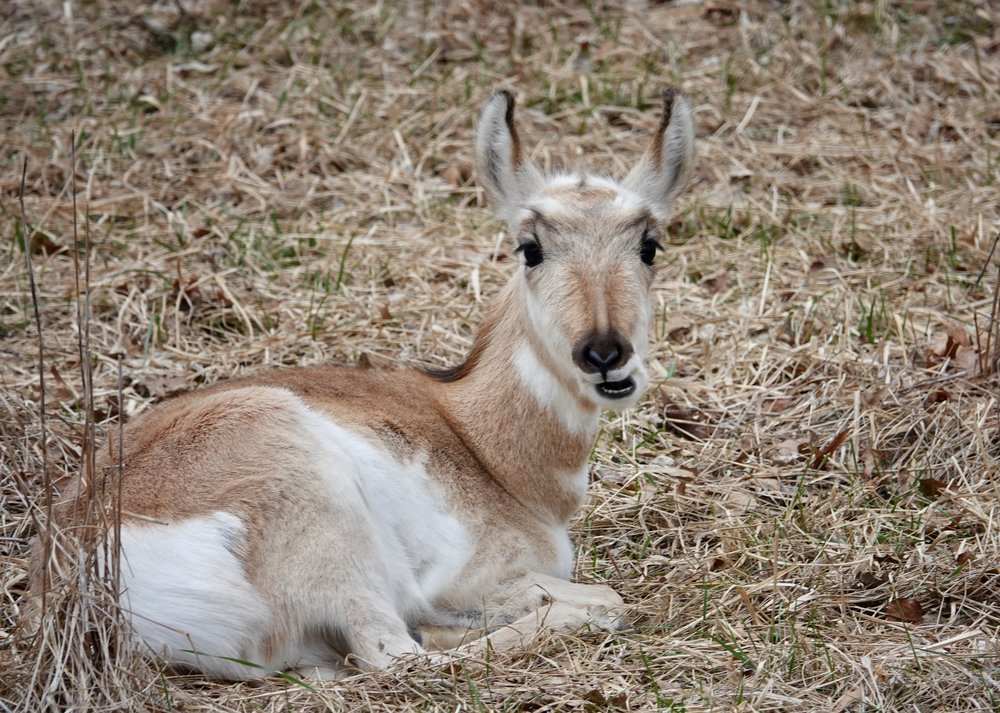 This particular pronghorn was not reaching speeds of 60 mph.