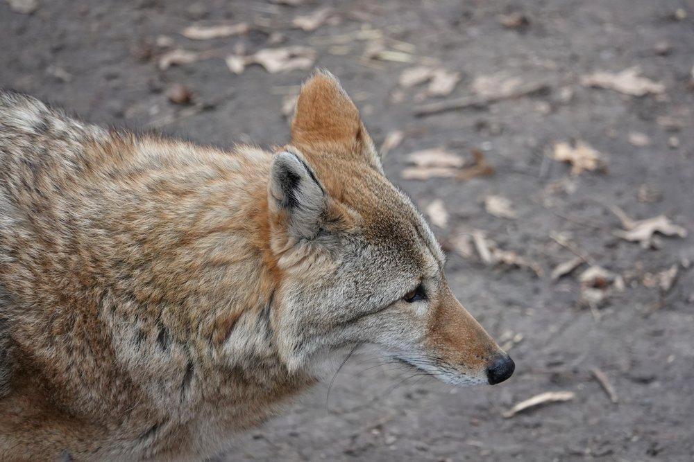 Wile E. Coyote's cousin Ware E. Coyote.