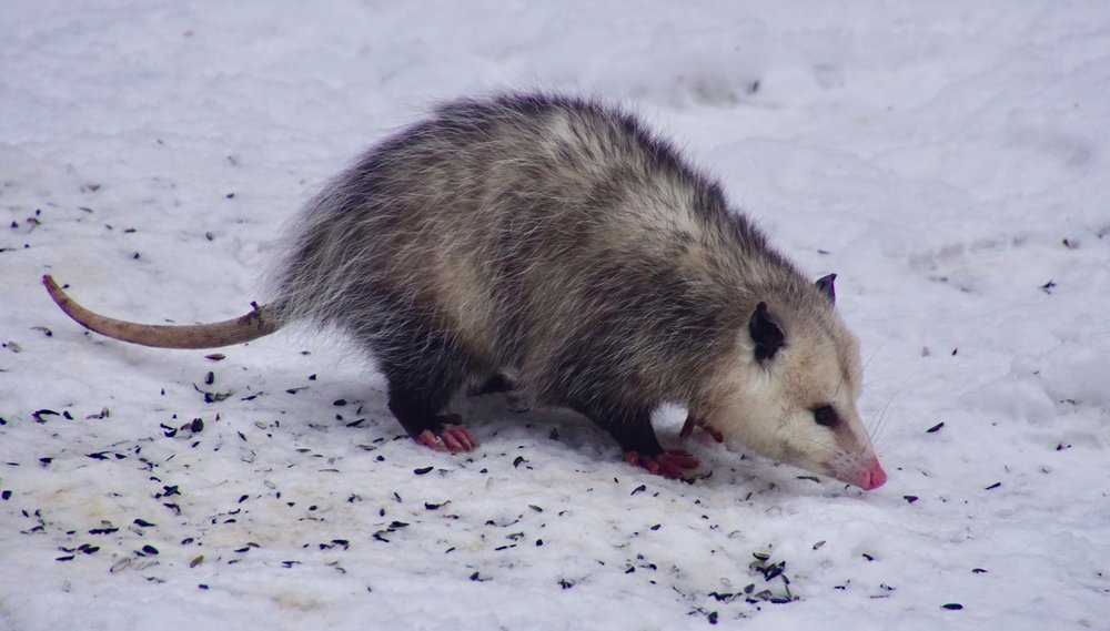 Cold weather is the opossum Olympics