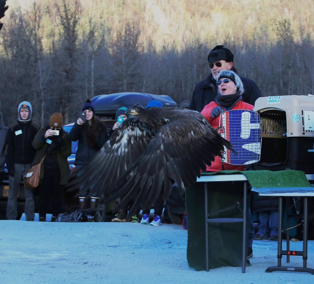 My wife releases a rehabilitated bald eagle in Alaska.