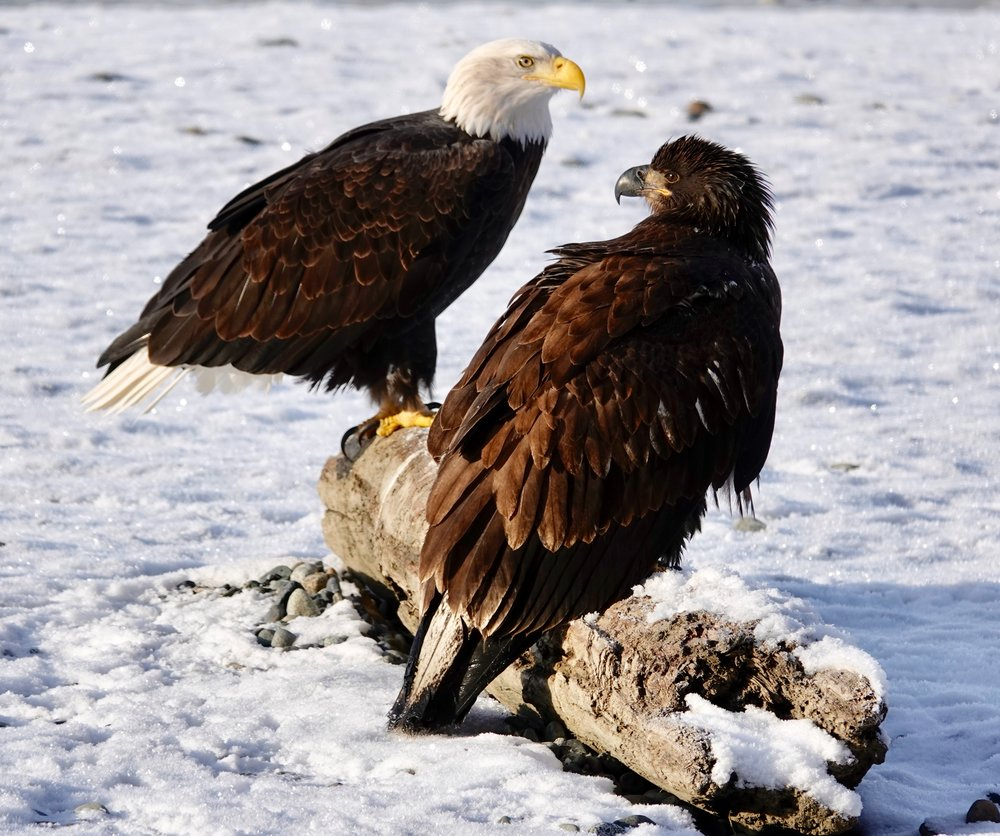 Bald eagles — younger and older.
