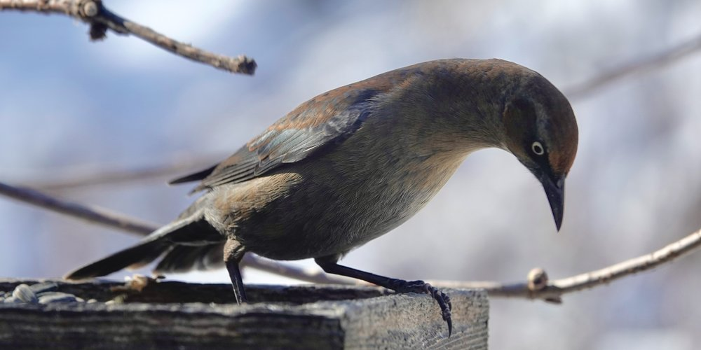 This rusty blackbird dropped a seed. Butter bill!