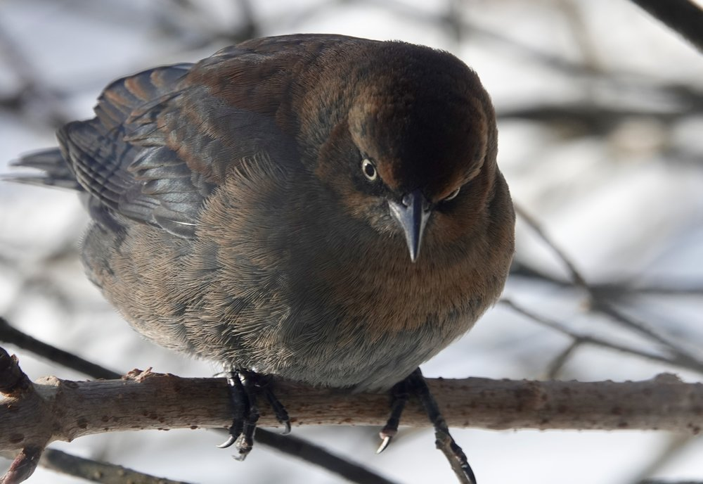 A rusty blackbird wishing it had caught an earlier flight.