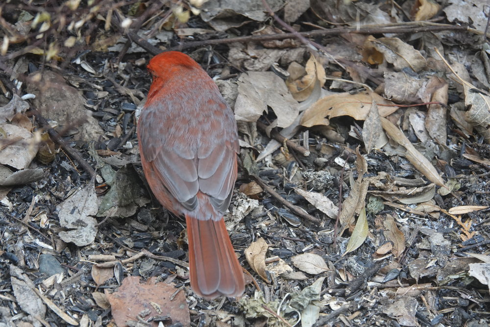 The feathers tipped with gray will slowly wear over the fall and winter, revealing a cardinal in brilliant red plumage.