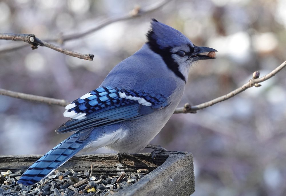 Blue jays will work for peanuts.