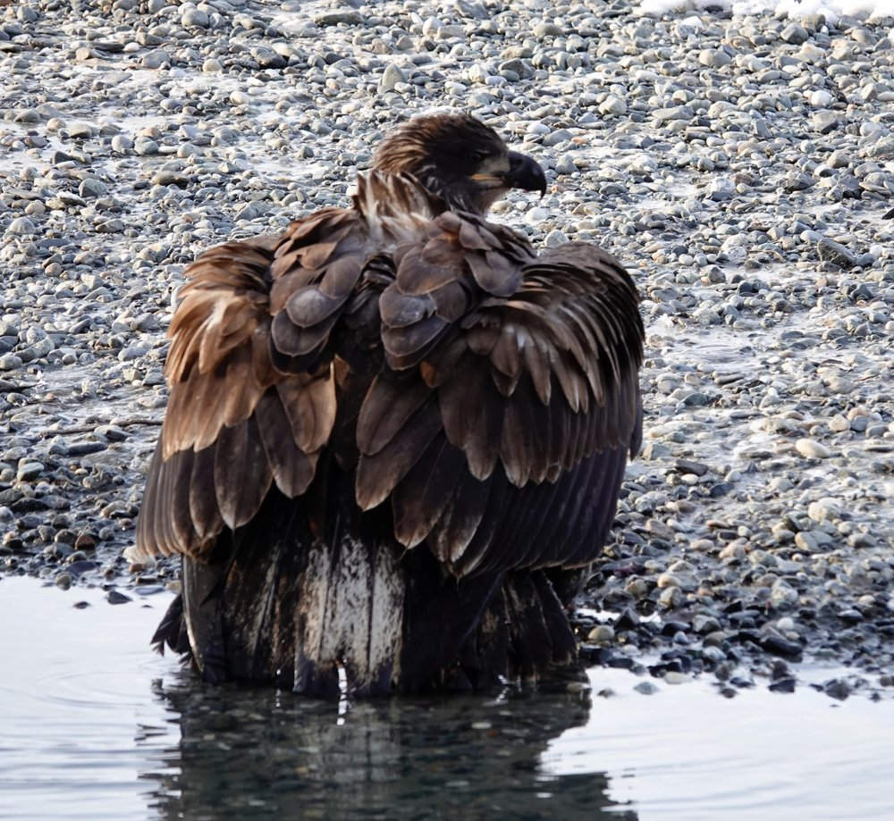 This young bald eagle discovers good things come to those who don't bait, too.