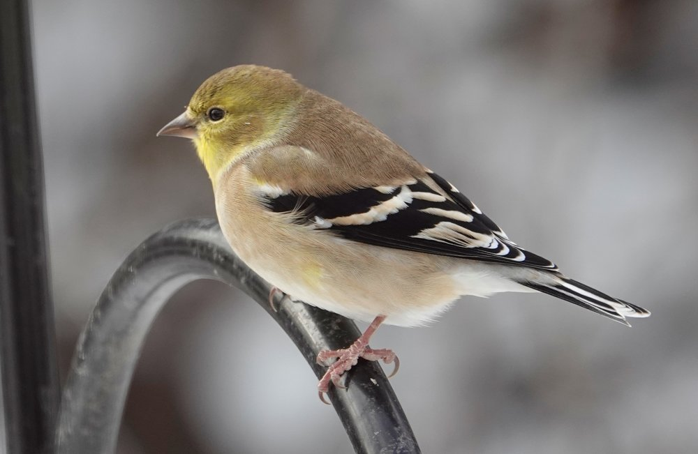 The Hawkeye goldfinch, the state bird of Iowa.