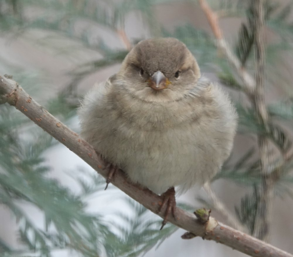 A house sparrow dressed for winter.