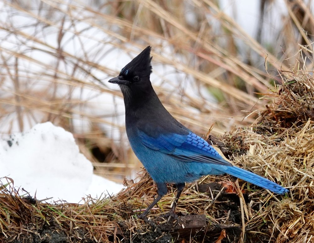 A Steller's jay seen in Alaska. The name Steller's makes this one of the most often misspelled bird names. - Al Batt/Albert Lea Tribune