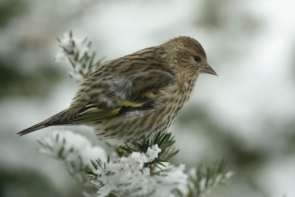 A pine siskin is a goldfinch in striped pajamas.
