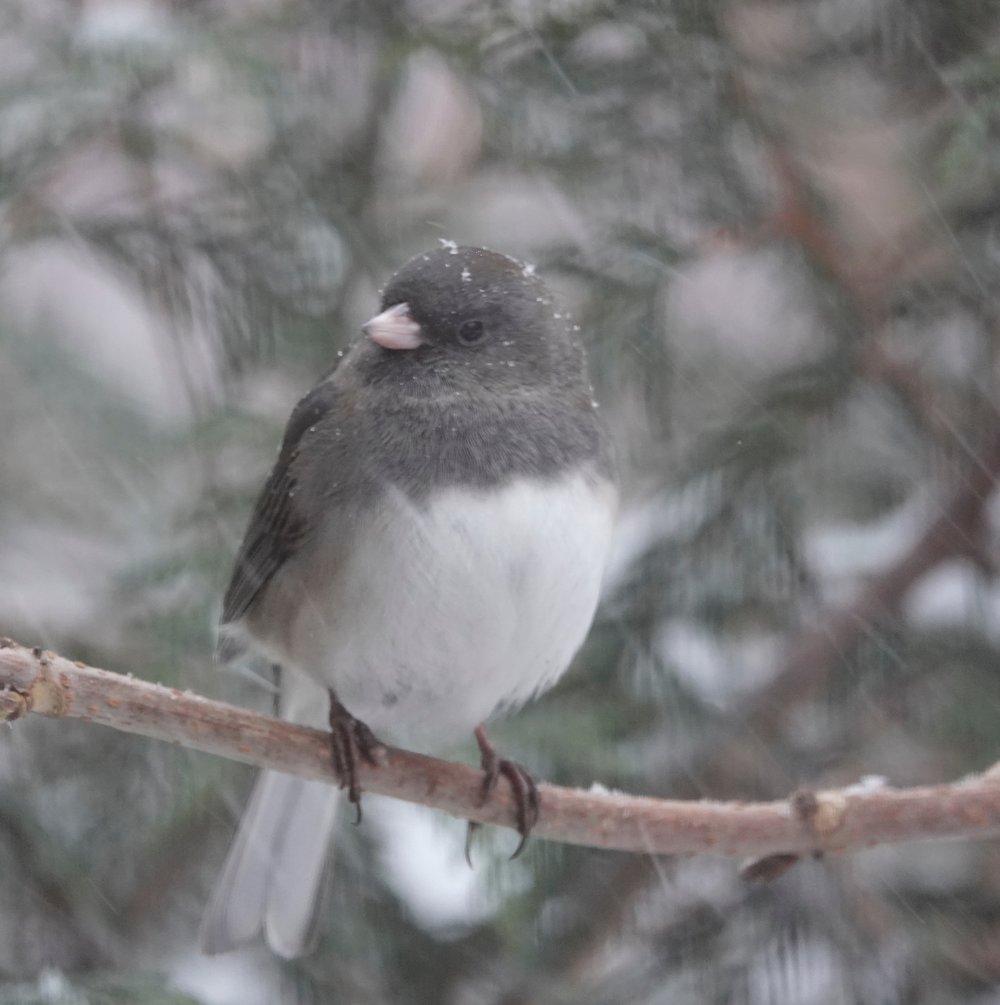 Snow falling upon a snowbird.