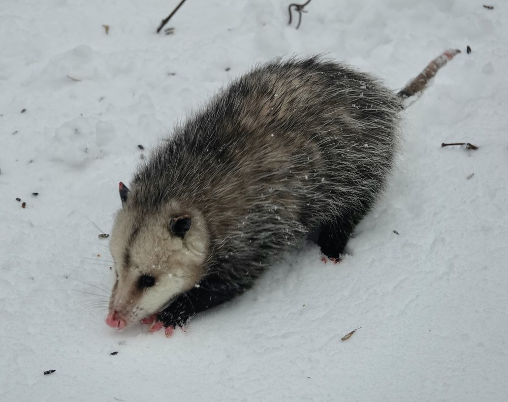 Opossum in the snow. That sounds like the lunch special at the Bath Cafe.