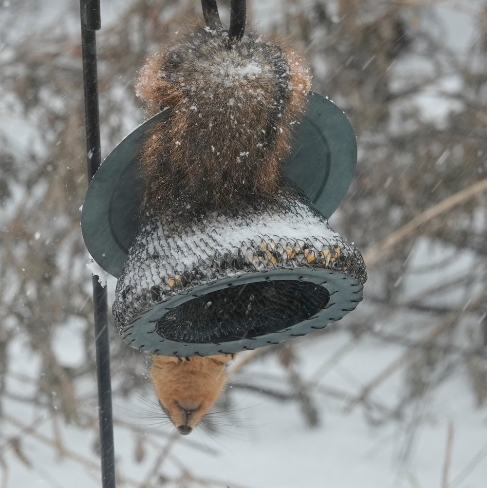 Then one day it happened. Another bird feeder miracle. A squirrel turned into a bird feeder.