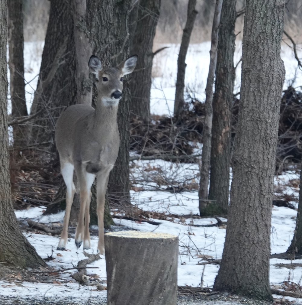 I'm doing a Christmas Bird Count and I'm watching as many deer as birds.