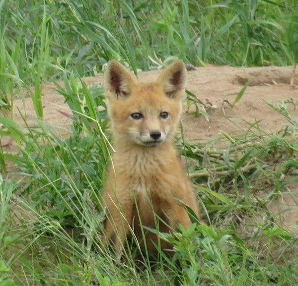 A red fox kit in June in North Dakota.