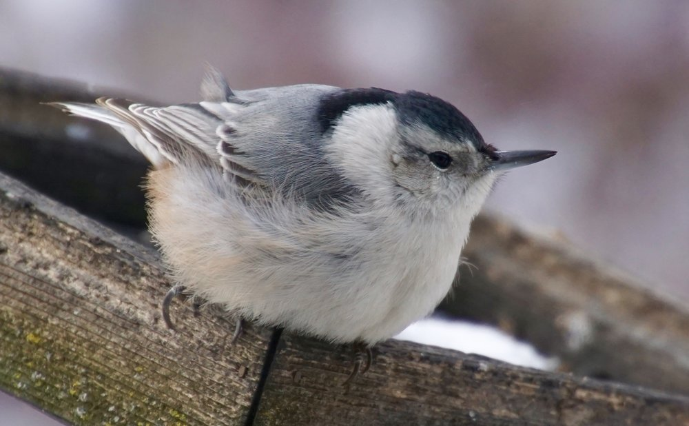 This tiny bird, the white-breasted nuthatch, is the largest of the five species of nuthatches found in North America.